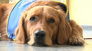 "Pokaa, le premier chien ""renifleur du Covid-19"" dans un Ehpad en France"