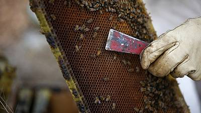 A beekeeper inspects a beehive board.