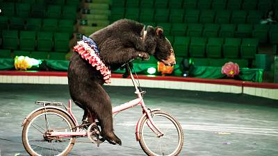 A bear is perfoming in the Central Circus in Hanoi, Vietnam.