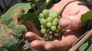Un viticultor comprueba el estado de sus viñas