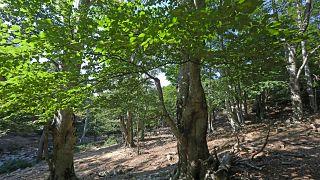 La hêtraie de Massane, classée au patrimoine mondial de l'Unesco