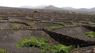 Vulkan-Wein von Lanzarote - Exportschlager von den Kanarischen Inseln