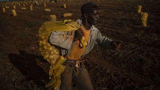 Krumplis zsákot cipelő idénymunkás a kubai Guines-ben