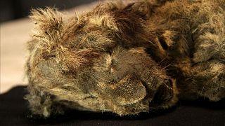 جسد شیر یافت شده در غاری در سیبری