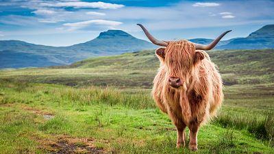 A Highland cow on the Isle of Skye