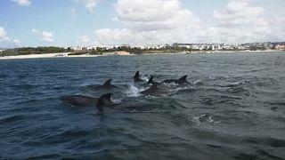 Golfinhos voltam ao Tejo