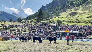Kuhkampf beim Sommer-Stechfest in Zermatt am Matterhorn