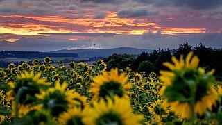 Sonnenblumenfeld in Wehrheim bei Frankfurt