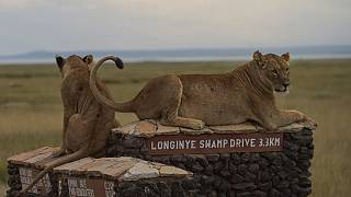 World Lion Day: Climate change, human conflict threaten Africa's big cats