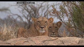 """Le 10 août, journée mondiale du lion, animal classé """"vulnérable"""""""