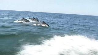 Delfines en el río Tajo de Lisboa