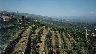 Agricultores sicilianos cambian cítricos por frutos tropicales