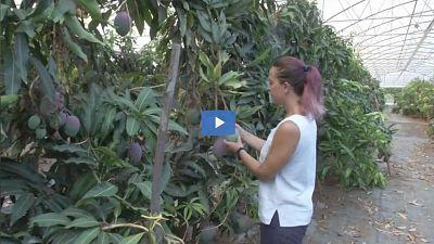 Sicilian fruit grower Maruzza Cupane inspects her avocados.