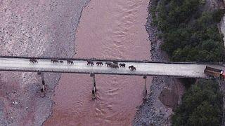 Il branco mentre attraversa un ponte  -   Copyright   AP / Centro di comando provinciale dello Yunnan per la sicurezza e il monitoraggio degli elefanti asiatici