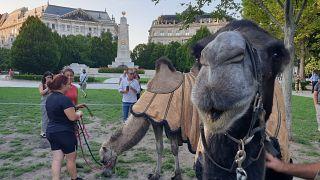 Hungría, ¿tierra prometida para camellos?