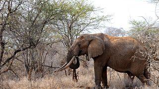 فيل في حديقة تسافو ويست الوطنية في جنوب كينيا.