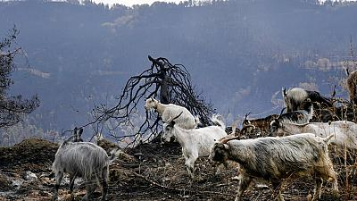 Goats are seen at a burn area near Krioneritis village on Evia island, about 181 kilometers (113 miles) north of Athens, Greece, Thursday, Aug. 12, 2021.
