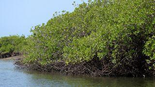 Au Sénégal, la reforestation des mangroves bénéficie à 50 000 familles