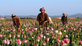 Afganistan'ın Kandahar viyaletinde bir haşhaş tarlası