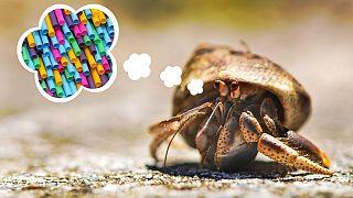 Resulta que los cangrejos ermitaños no odian el plástico como todo el mundo.