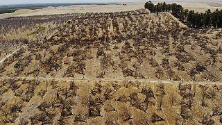 Cimitero di mandorli in California a causa della siccità