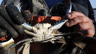 Un pécheur d'anguille de l'étang de Canet-en-Roussillon, dans le sud de la France; montrant un crabe bleu ramené dans ses files, le 18 août 2021