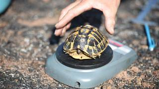 La tortue d'Hermann, espèce rare et protégée