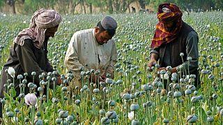 مزرعه کشت خشخاش در ولایت هلمند