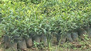 RCA : planter des arbres pour lutter contre le réchauffement climatique
