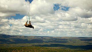 Ein betäubtes Spitzmaulnashorn wird in der Provinz Ostkap, Südafrika, von einem Hubschrauber transportiert.