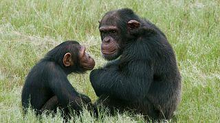 شامپانزه ها و بونوبوها مانند انسانها سلام و خداحافظی میکنند