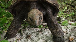 Une tortue géante carnivore filmée aux Seychelles