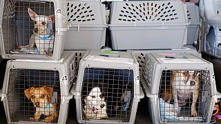 صورة من الارشيف - كلاب تنقل بالطائرة