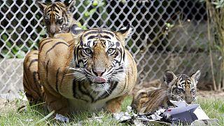 Sumatra-Tigerin mit ihren zwei Jungen im Zoo von Bali, Juli 2018