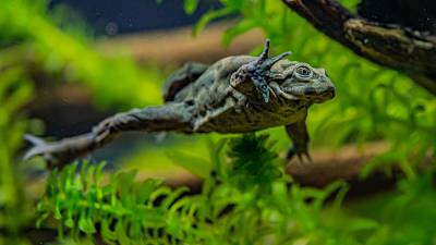 Lake Titicaca frogs have saggy skin that helps them to absorb oxygen.