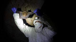 تعرف الخفافيش كيف تتجنّب آثار الشيخوخة وتحتضن فيروسات من قبيل إيبولا أو كورونا من دون أن تصاب بالمرض