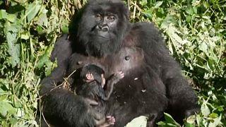 RDC : nouvelle naissance d'un gorille de montagne au parc des Virunga