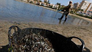 Лагуна Мар-Менор теряет морскую фауну