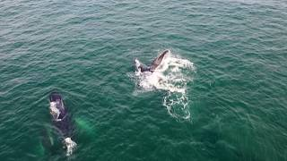 Humpback whales arrive at Colombia's Pacific coast to mate