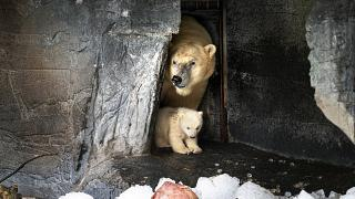 A koppenhágai állatkert jegesmedvebocsa anyja társaságában 2020. február 27-én. A Nemzetközi Jegesmedve Nap célja, hogy felhívja a figyelmet a globális felmelegedésre