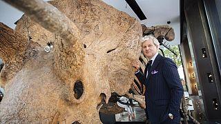 Le commissaire-priseur Alexandre Giquello pose devant le squelette du plus grand tricératops connu à Paris le 31 août 2021