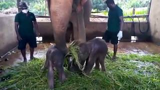 Sri Lanka reports rare birth of elephant twins