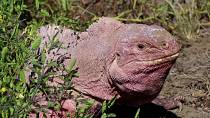 Galapagos' pink iguanas now critically endangered