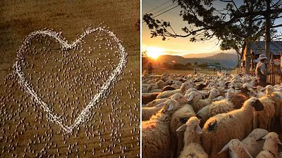 Sheep form the shape of a heart in a field in Guyra, northern New South Wales, Australia.