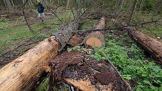 Un hombre participa en una protesta contra la tala de árboles a gran escala por parte del gobierno en el bosque de Bialowieza, Polonia, 13 de agosto de 2017.