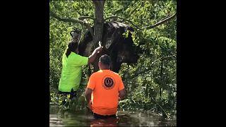 بقرة عالقة على شجرة بعد فيضان ضرب  نيو اورلينز الأمريكية