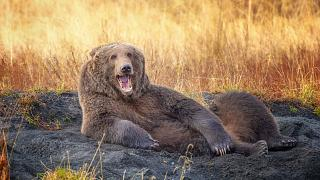 This Kodiak bear has turned a dry river in Alaska into its bed.