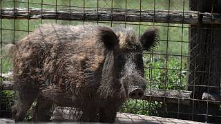 Wild boar have been wreaking havoc in and around the Italian capital for years.