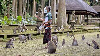 Normal zamanlarda yabancı turistlerle dolup taşan ormanda maymunlar ziyaretçilerin elinden ziyafet çekmeye oldukça alışkın