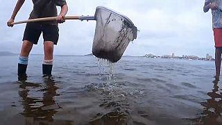 Recogida de peces muertos en el Mar Menor